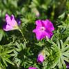 Sanguineum Geranium