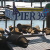 Pier 39 sea lions and a few seals